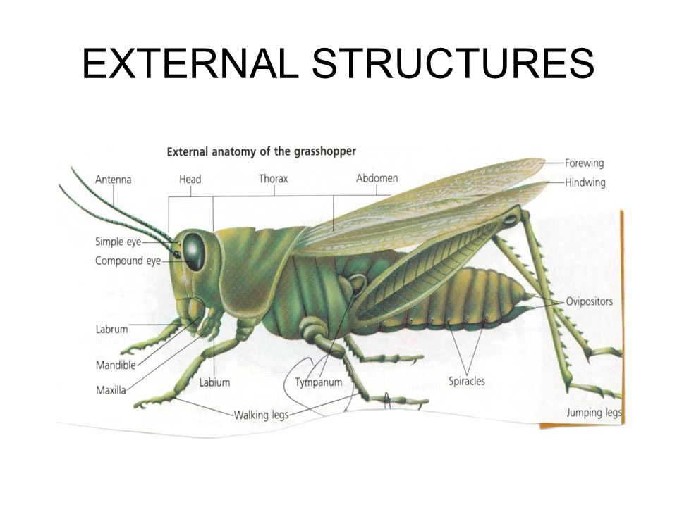 Funky Grasshopper External Anatomy Ornament - Image of internal ...