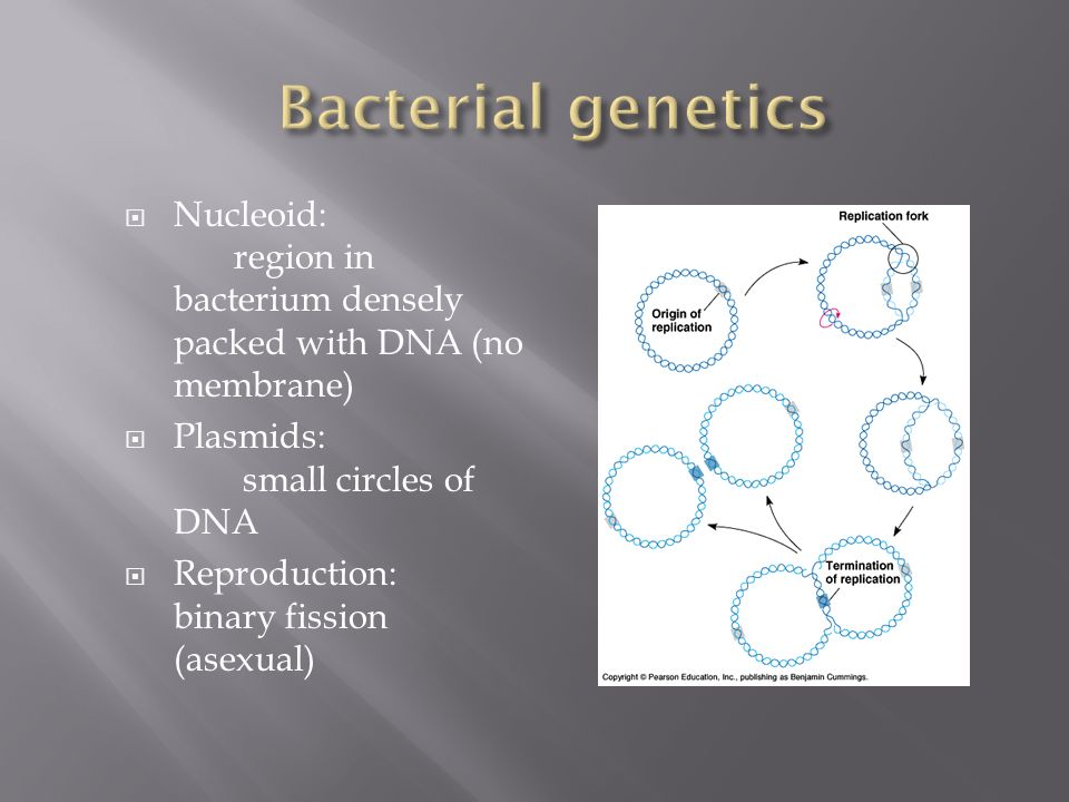 Bacterial genetics Nucleoid: region in bacterium densely packed with DNA (no membrane) Plasmids: small circles of DNA.