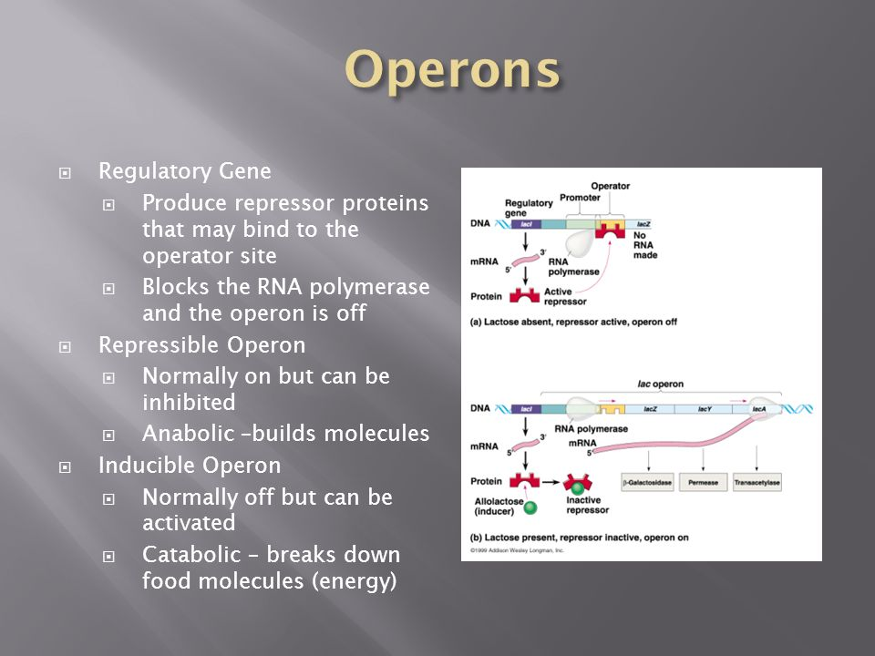 Operons Regulatory Gene