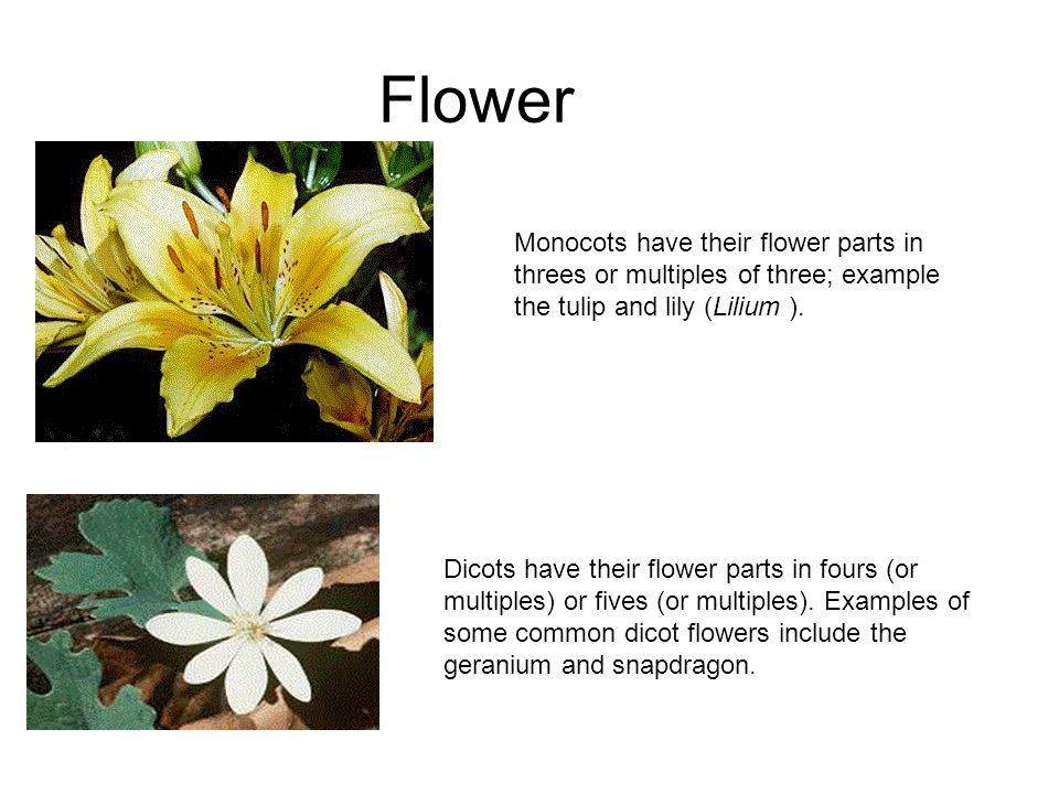 Comparing Monocot And Dicot Pants Ppt Download