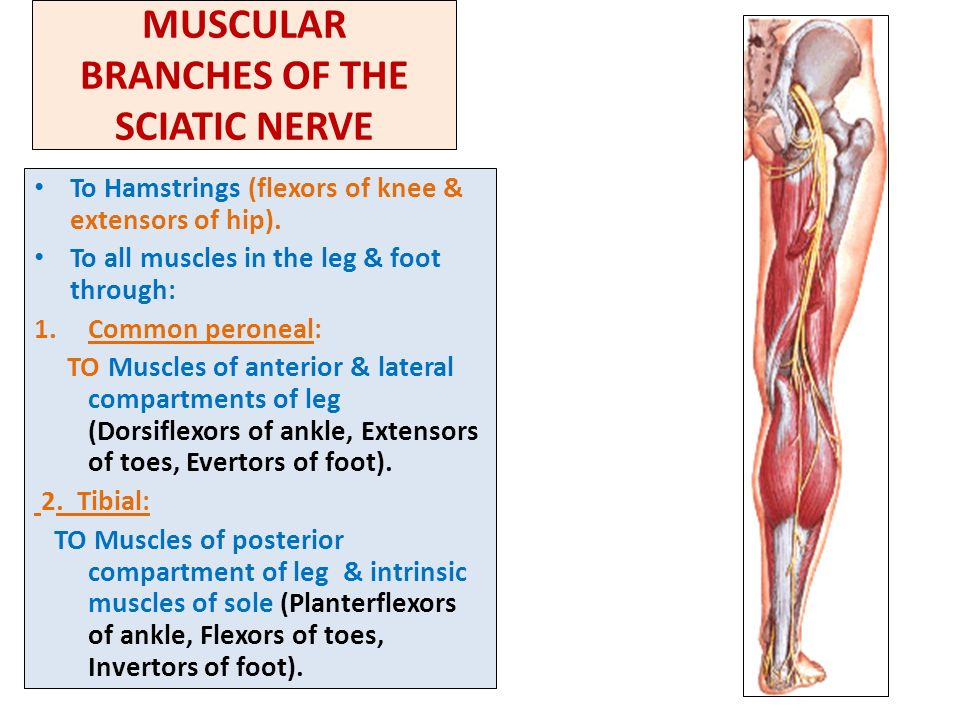 Sacral Plexus Femoral Sciatic Nerves Ppt Video Online Download