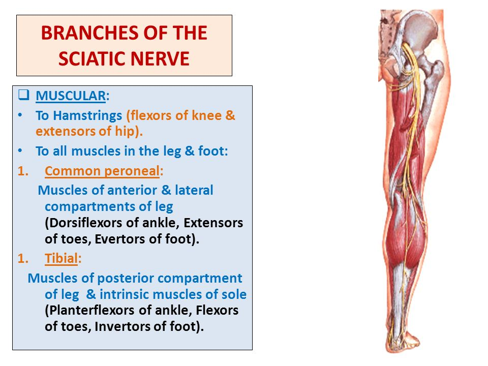 Sacral Plexus Femoral Sciatic Nerves Ppt Video Online Download