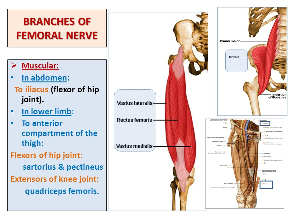 SACRAL PLEXUS FEMORAL & SCIATIC NERVES - ppt video online download