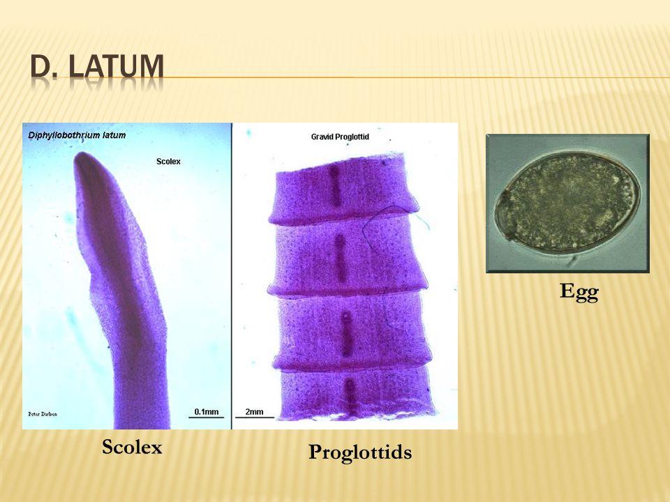 Diphyllobothrium Scolex