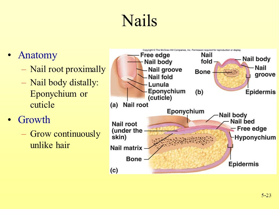 Chapter 5 Integumentary System. - ppt video online download
