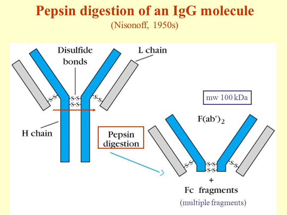 Immunoglobulins: Structure and Function - ppt video online