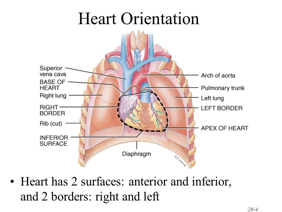 Chapter 20 The Cardiovascular System The Heart Ppt Video Online