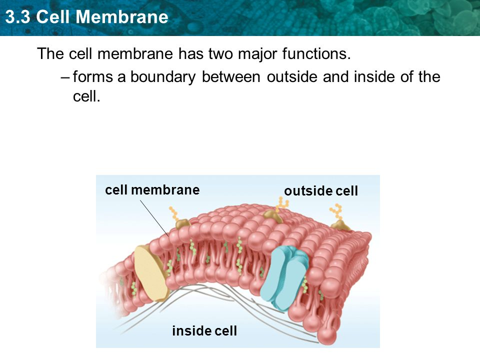 major function of plasma membrane