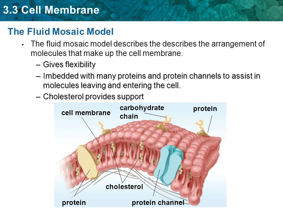What best describes the fluid mosaic model of the plasma membrane — photo 1