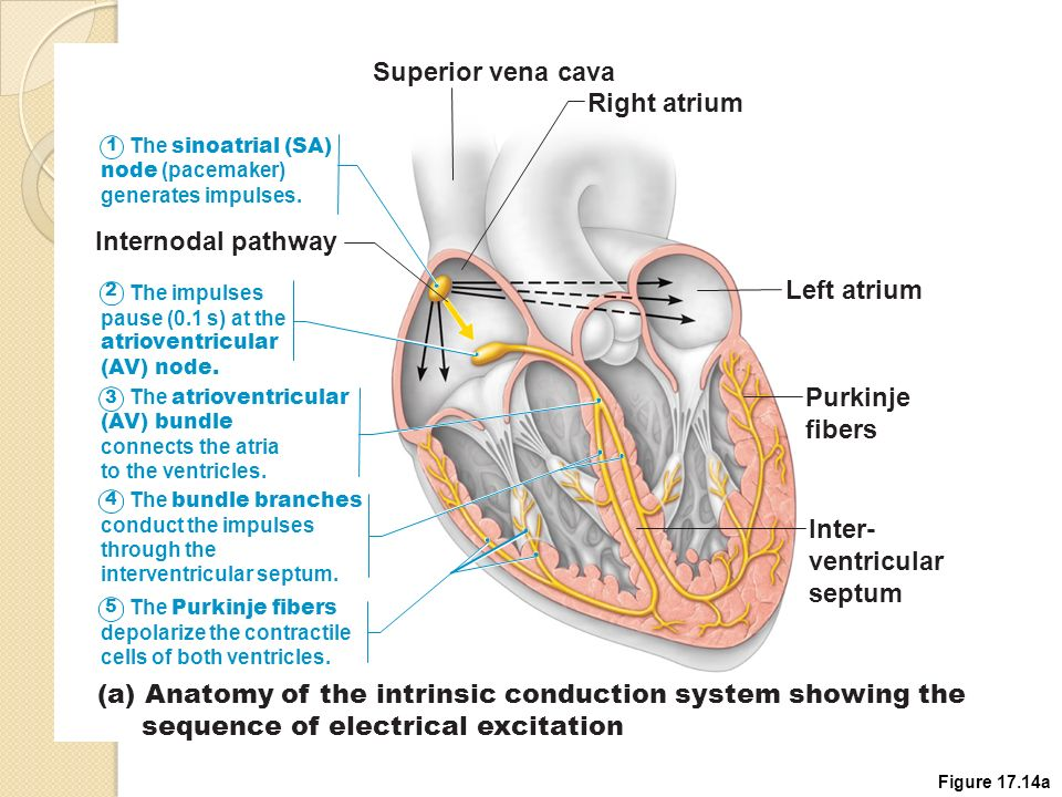 Fetal Heart Diagram Of Impulses - All Kind Of Wiring Diagrams •