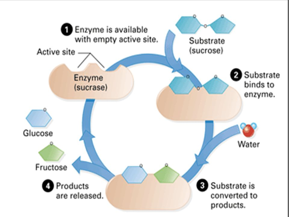 enzyme= sucrase Substrate= sucrose