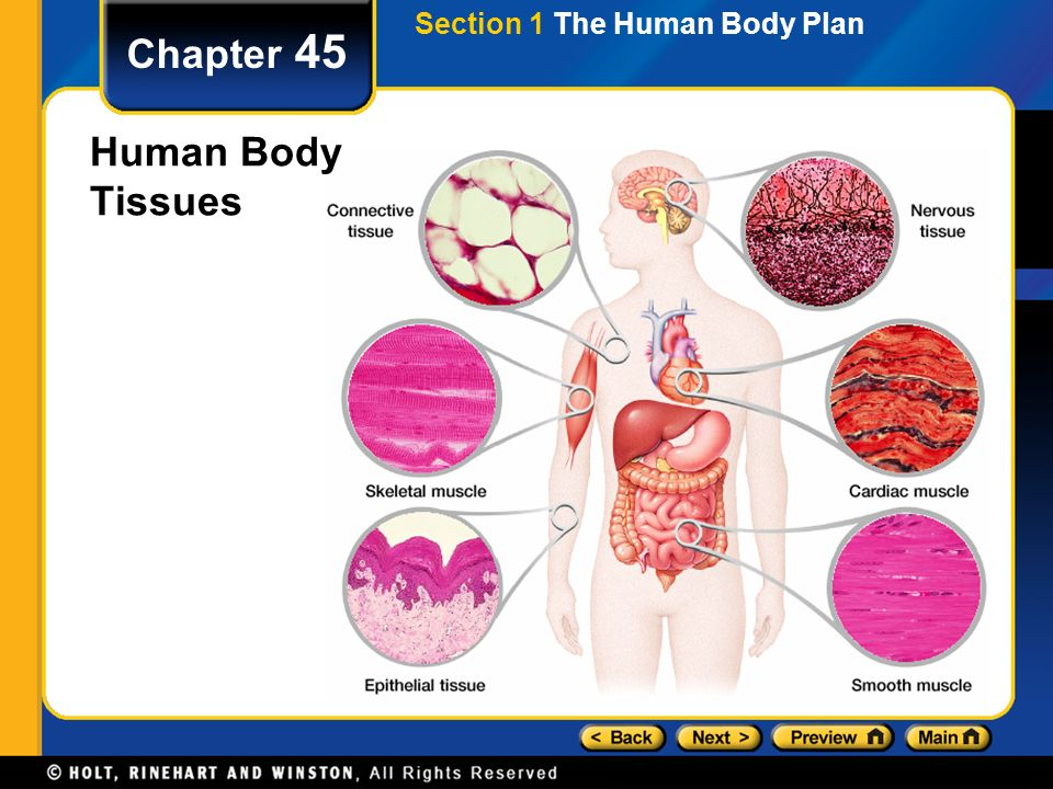 chapter 45 table of contents section 1 the human body plan ppt rh slideplayer com Human Body Tissue Diagram Unlabeled Anatomy of the Human Body