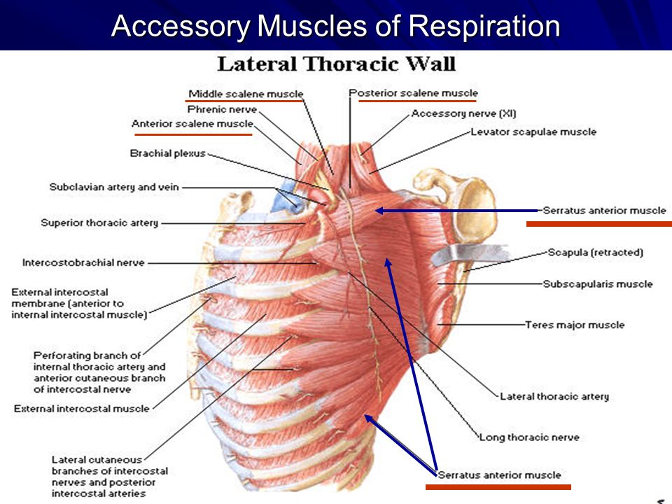 Thorax & Thoracic Wall. Muscles of Respiration - ppt video online ...