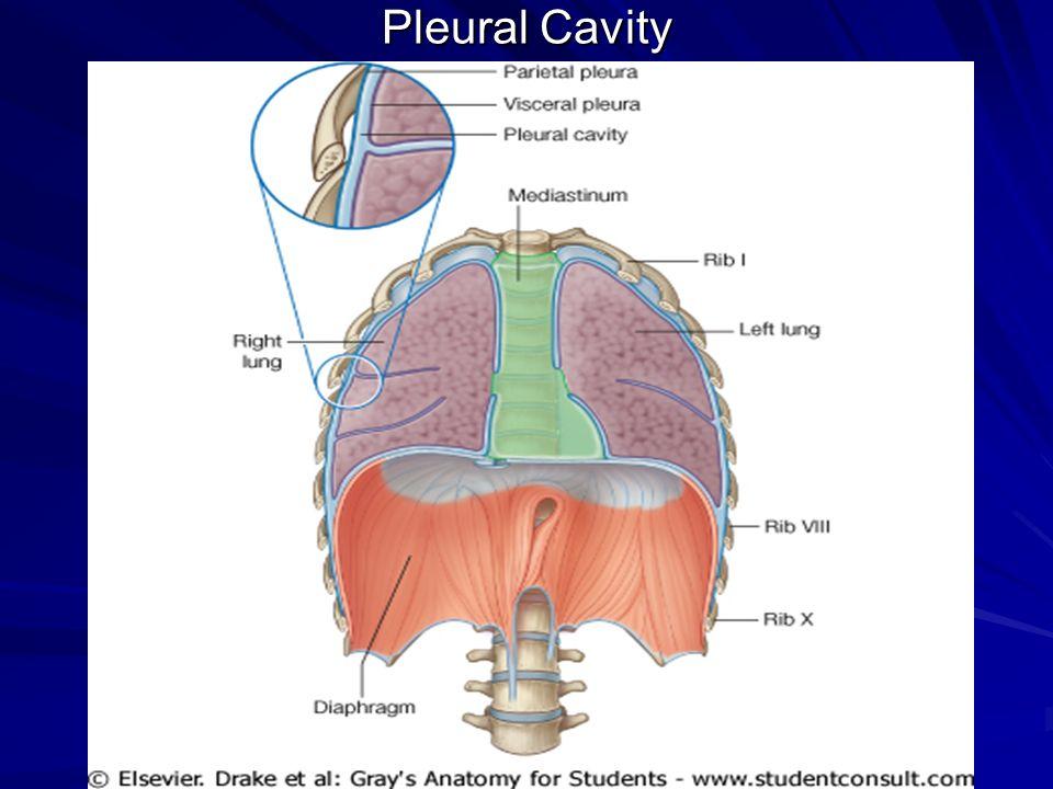 Pleural Space Anatomy Images - human body anatomy
