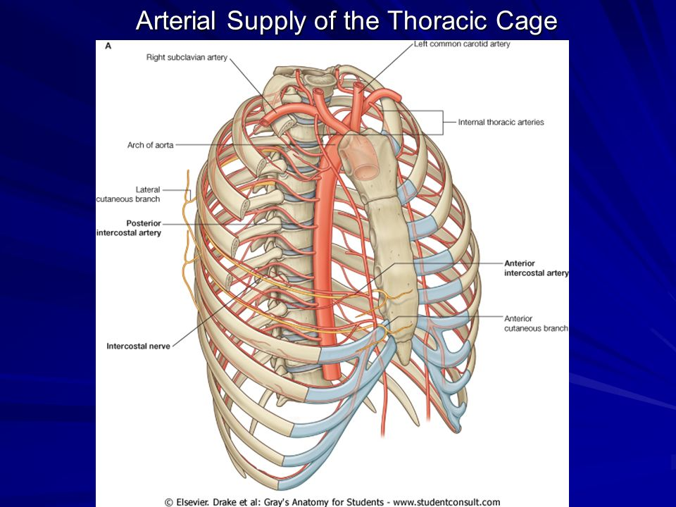 Thorax Thoracic Wall Muscles Of Respiration Ppt Video Online