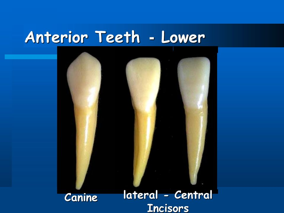 human dentition introduction dental anatomy includes