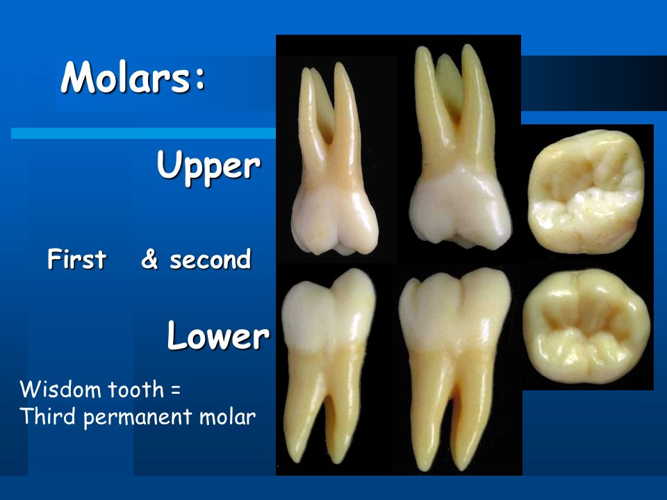 Diagram Of Lower Molar Tooth Search For Wiring Diagrams