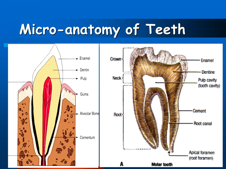 Human Dentition Introduction Dental Anatomy Includes: - ppt video ...