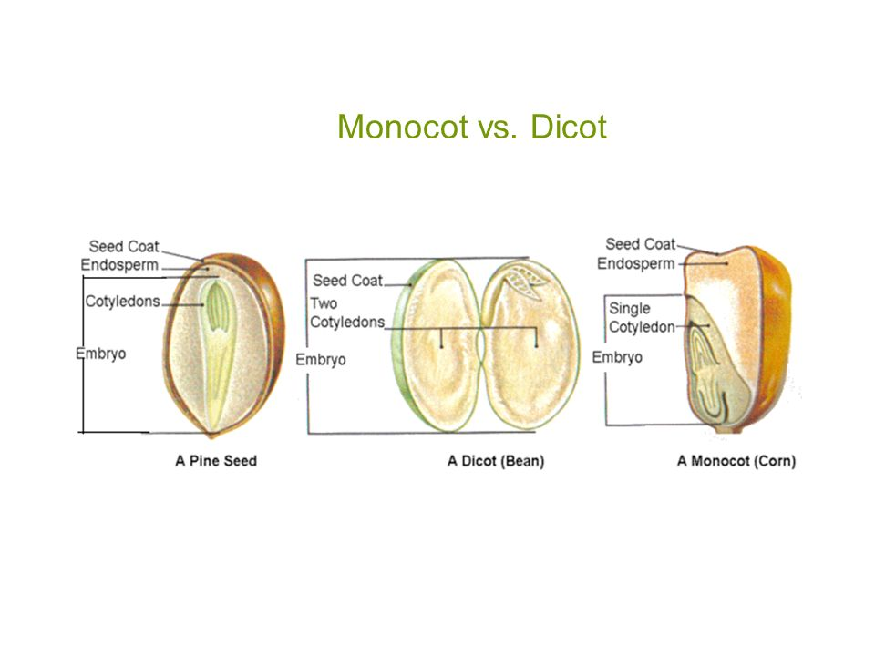Seeds Monocot Vs Dicot Accelerated Biology Ppt Video