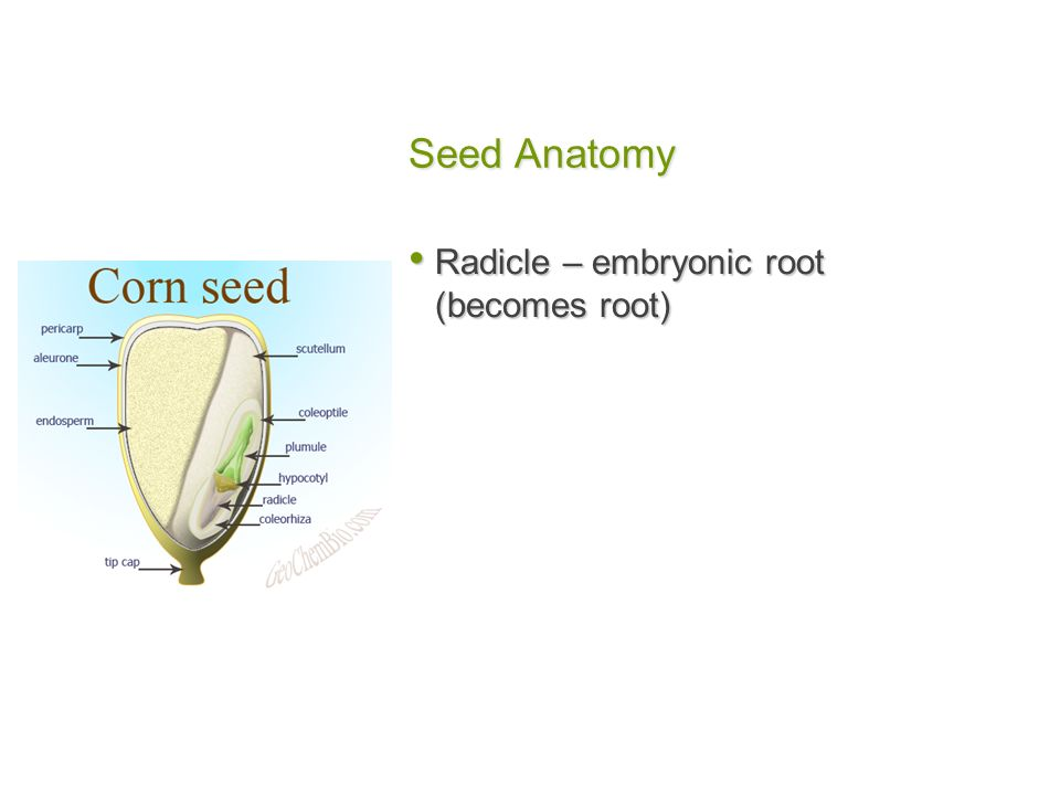 Nice Anatomy Of A Seed Inspiration - Anatomy And Physiology Biology ...