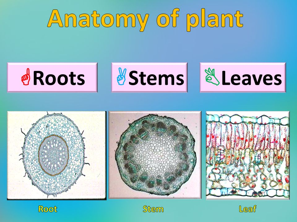 Anatomy of plant Lab ppt video online download