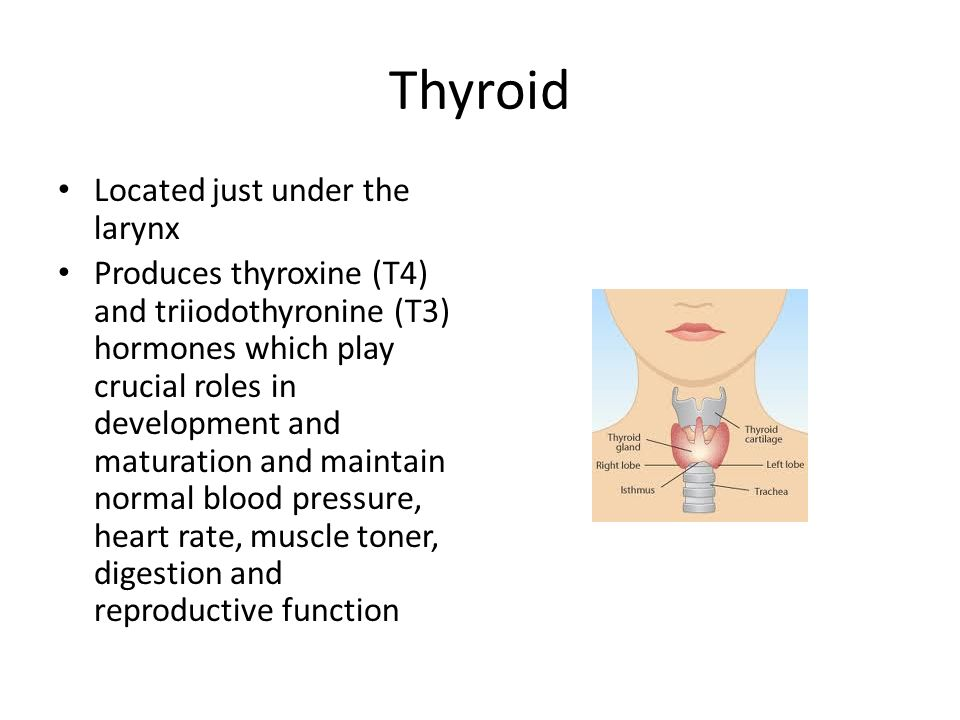 Thyroid Located just under the larynx