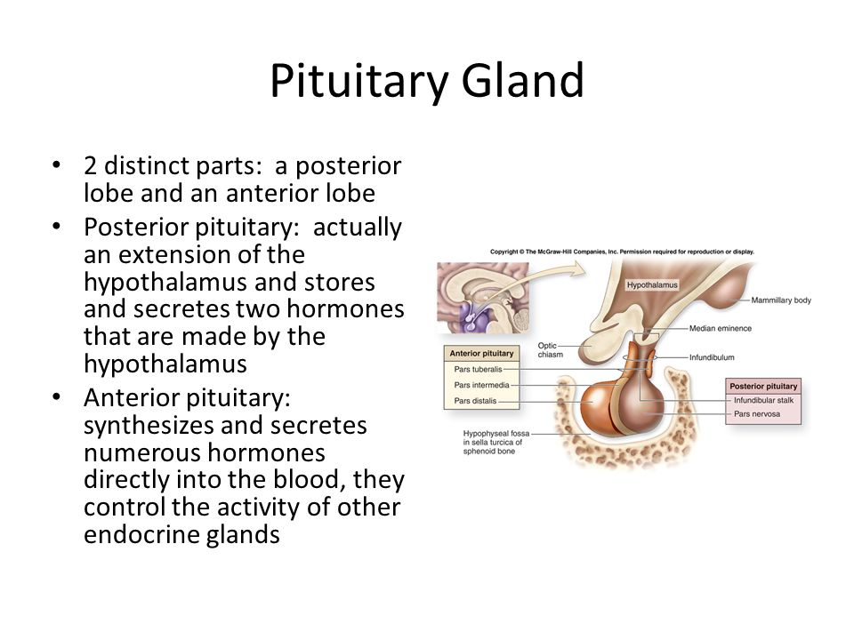 Pituitary Gland 2 distinct parts: a posterior lobe and an anterior lobe.