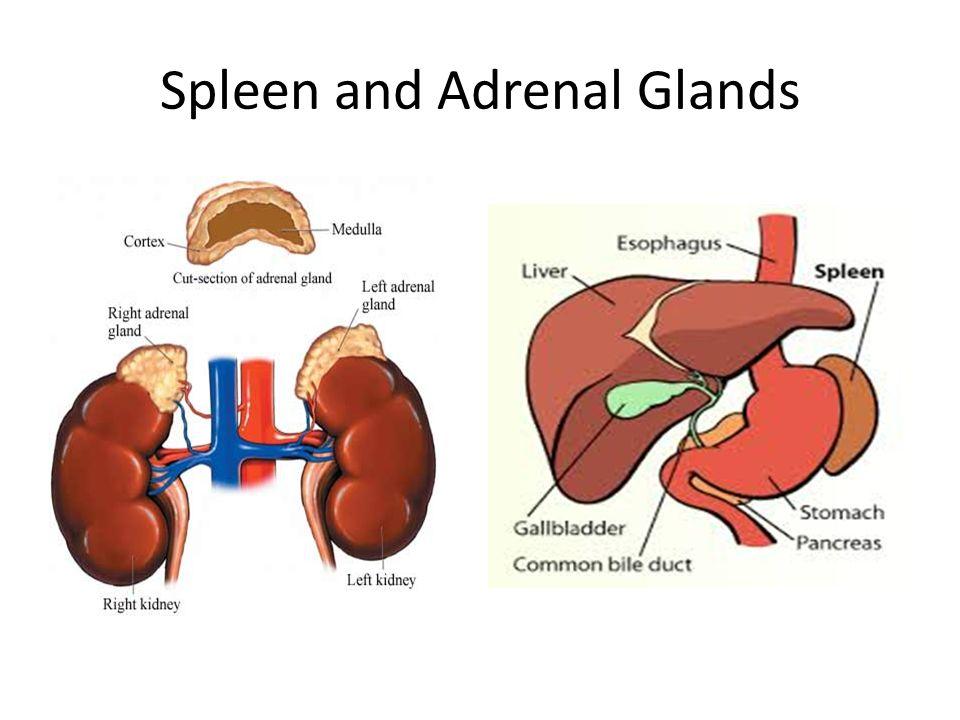Adrenal Gland And Liver