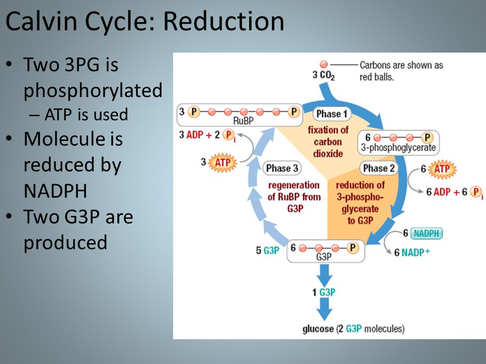 do atp molecules produce nadph