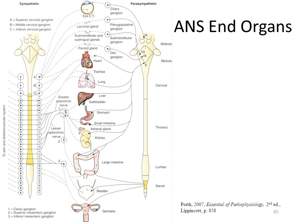 Autonomic nervous system ppt download 60 ans ccuart Choice Image