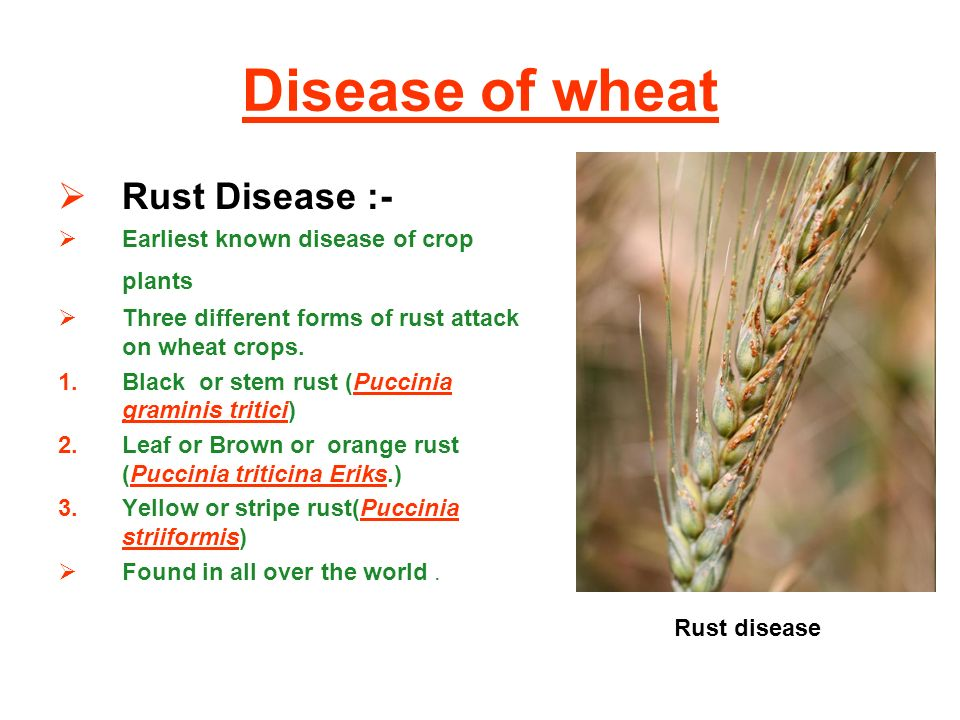 Control of economically important disease of cereals - ppt