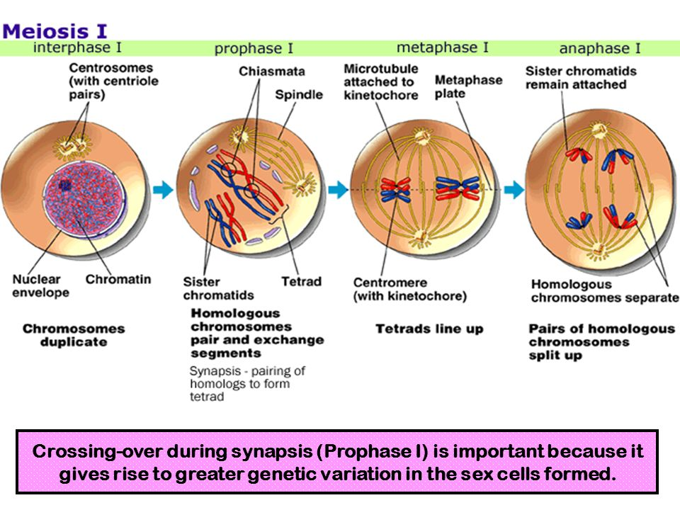 Crossing-over during synapsis (Prophase I) is important because it gives rise to greater genetic variation in the sex cells formed.