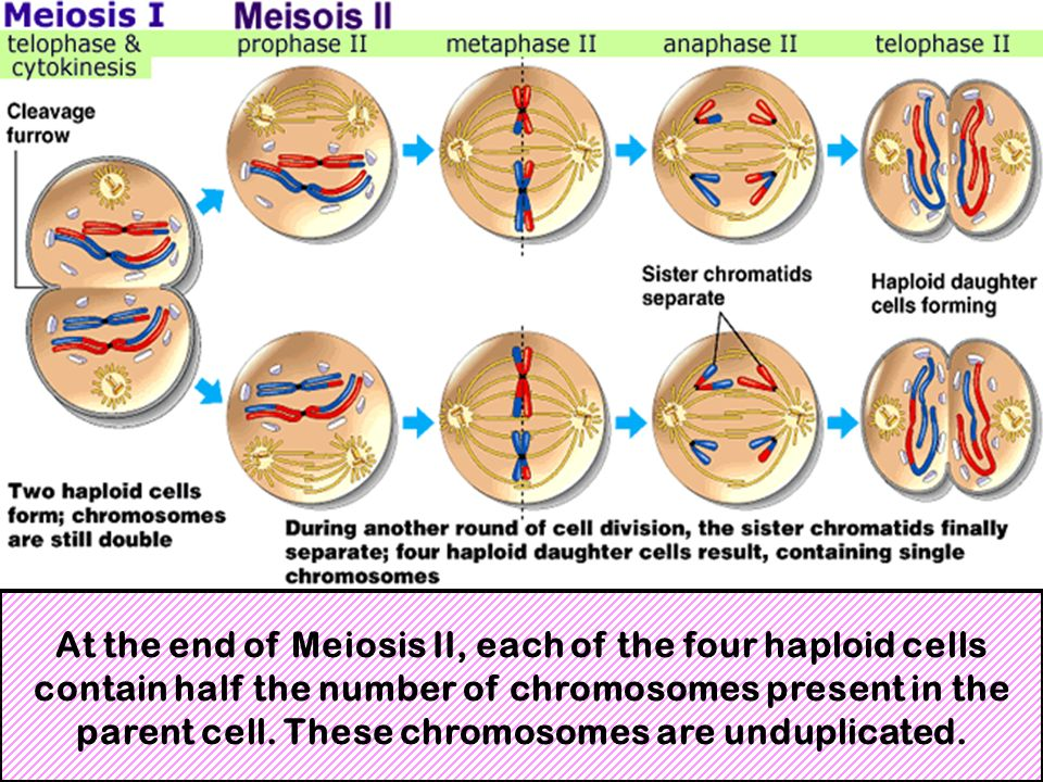At the end of Meiosis II, each of the four haploid cells contain half the number of chromosomes present in the parent cell.