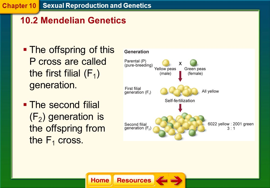 The second filial (F2) generation is the offspring from the F1 cross.