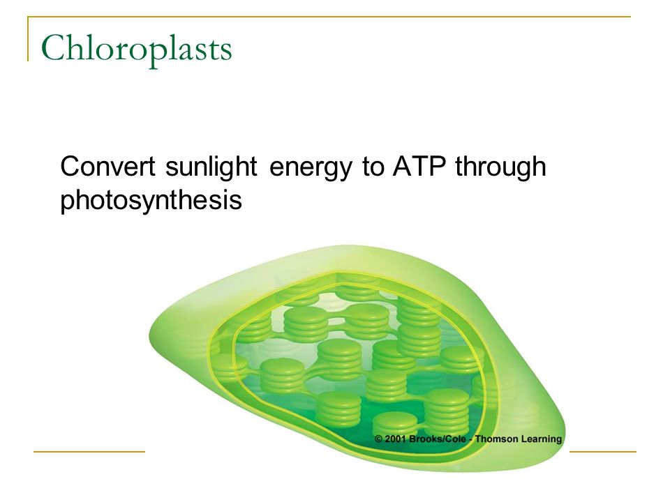 Chloroplasts Convert sunlight energy to ATP through photosynthesis