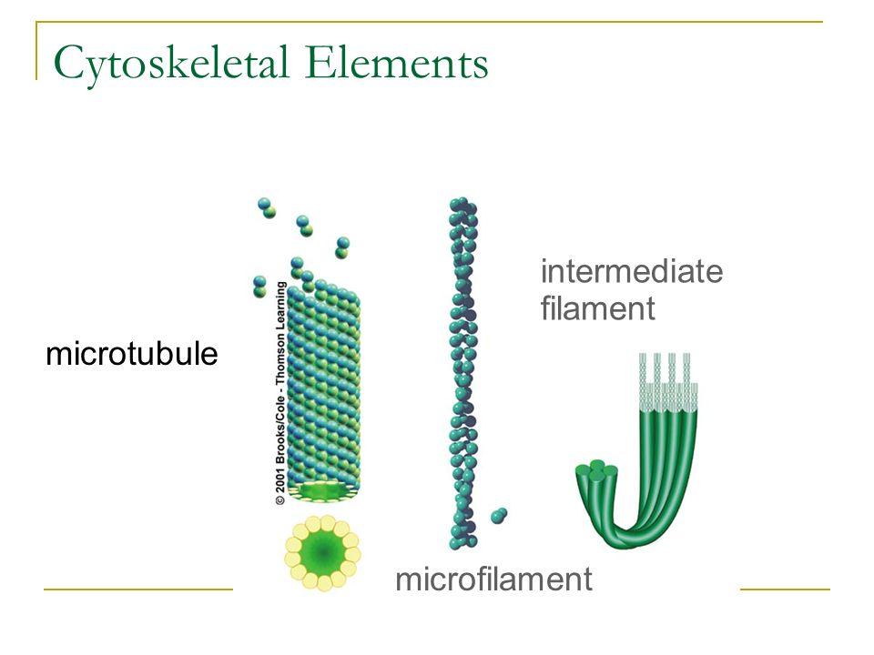 Cytoskeletal Elements