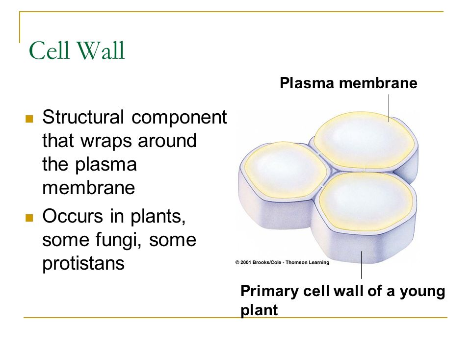 Cell Wall Structural component that wraps around the plasma membrane