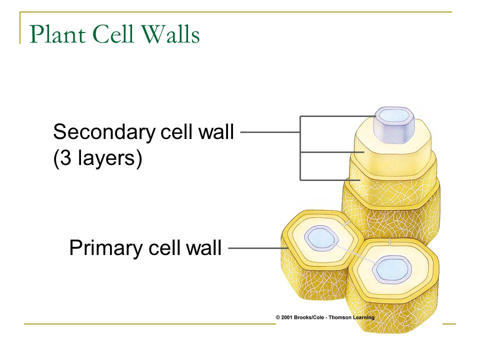 Plant Cell Walls Secondary cell wall (3 layers) Primary cell wall
