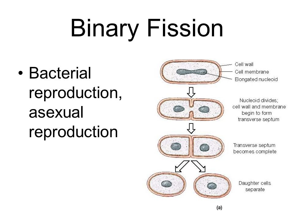 Bacterial reproduction asexually