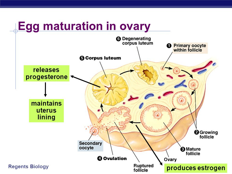 Egg maturation in ovary
