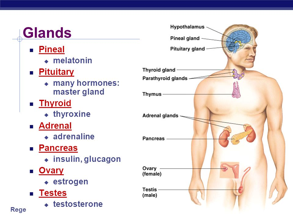 Glands Pineal Pituitary Thyroid Adrenal Pancreas Ovary Testes