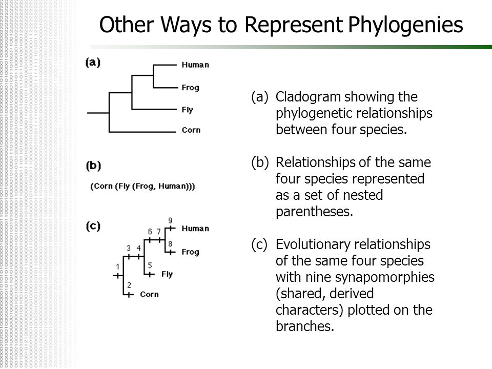 Other Ways to Represent Phylogenies