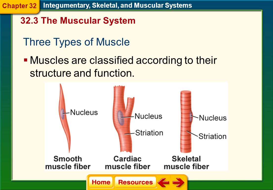 Muscles are classified according to their structure and function.