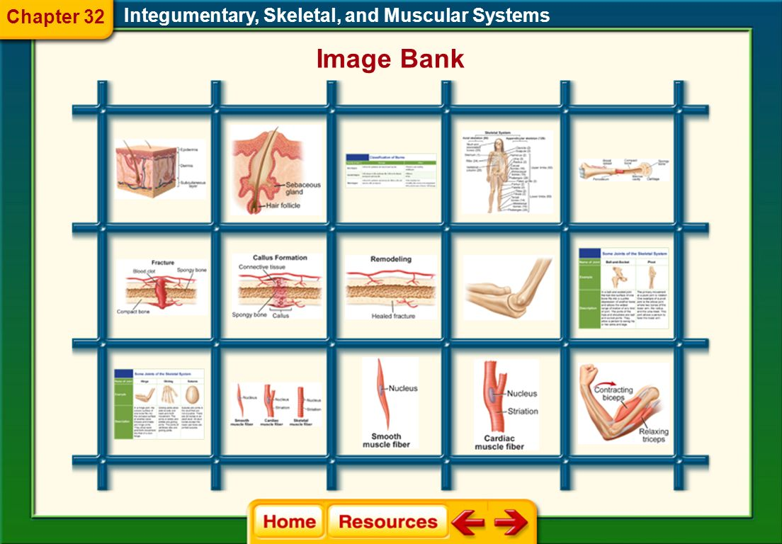 Chapter 32 Integumentary, Skeletal, and Muscular Systems Image Bank