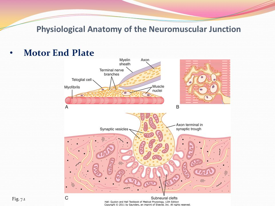 Unit Two Membrane Physiology Nerve And Muscle Ppt Video Online