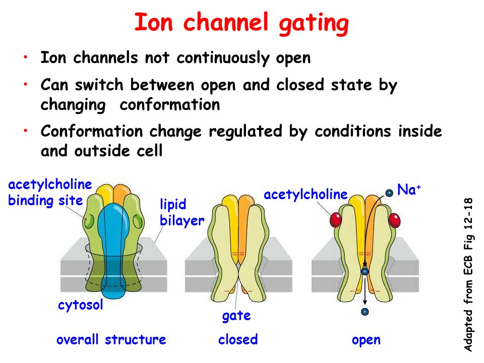 Ion channel gating Ion channels not continuously open