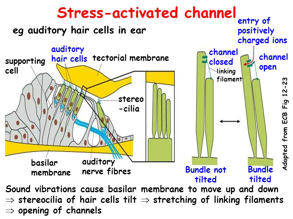 Stress-activated channel