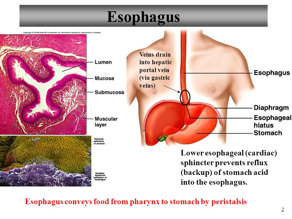 Anatomy and Physiology Part 3: Stomach and Stomach Control - ppt ...
