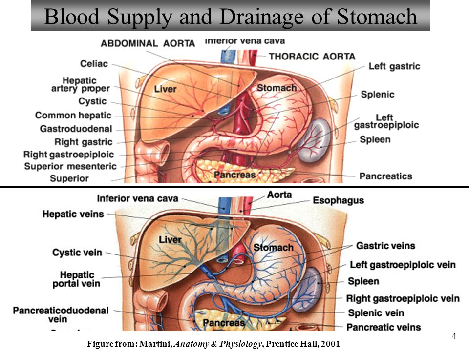 Anatomy and physiology part 3 stomach and stomach control ppt blood supply and drainage of stomach ccuart Image collections