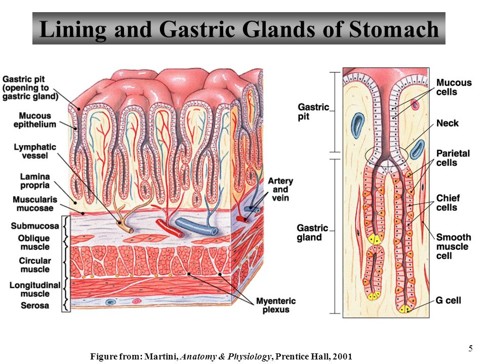 Anatomy and physiology part 3 stomach and stomach control ppt lining and gastric glands of stomach ccuart Image collections